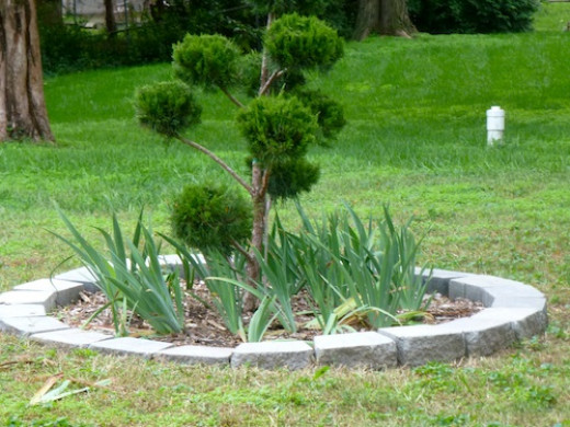 'Sea Green' juniper is newly planted in it's own space. Selecting ground cover is an important first step.