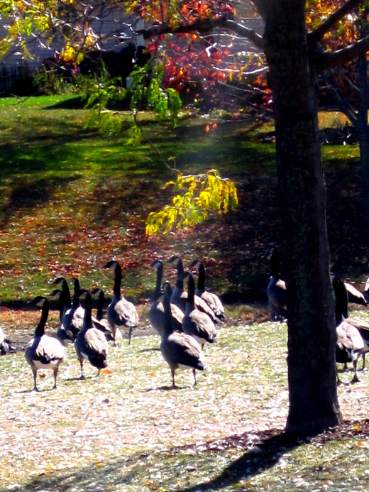 Canadian Geese Fall 2012