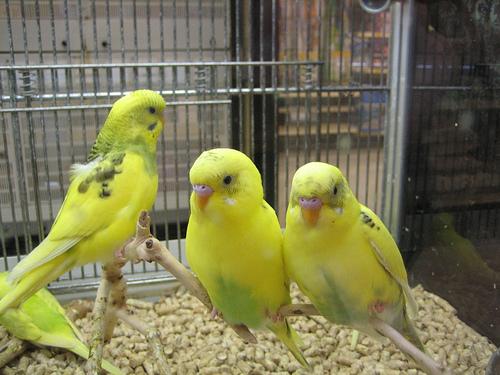 Yellow parakeets