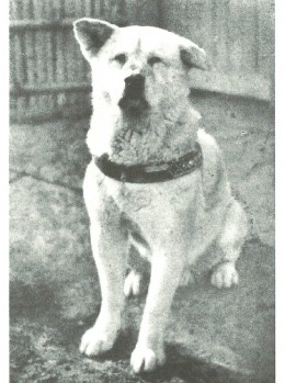 A statue in Tokyo, Japan, honors Hachiko, an Akita who returned to the train station to greet his master every day in vain for nine years.