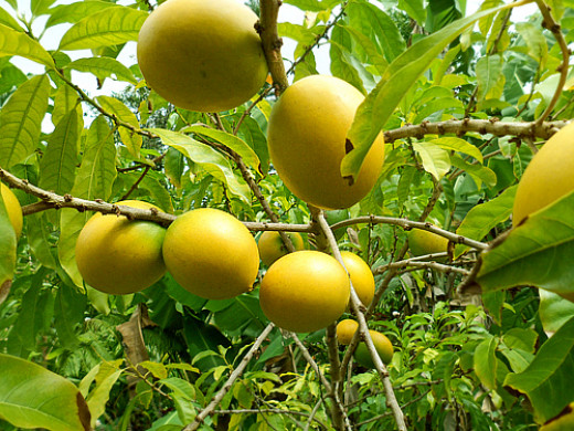 Plantation d'arbre fruitier  7248663_f520