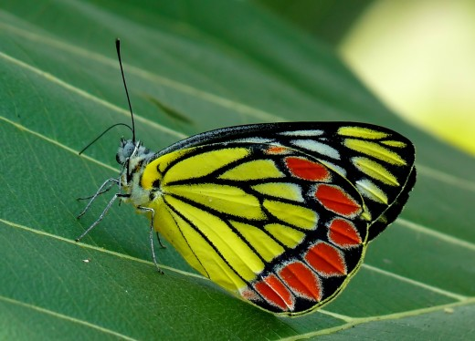 The Common Jezebel (Delias eucharis)