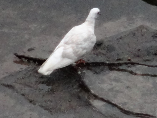 A white pigeon....