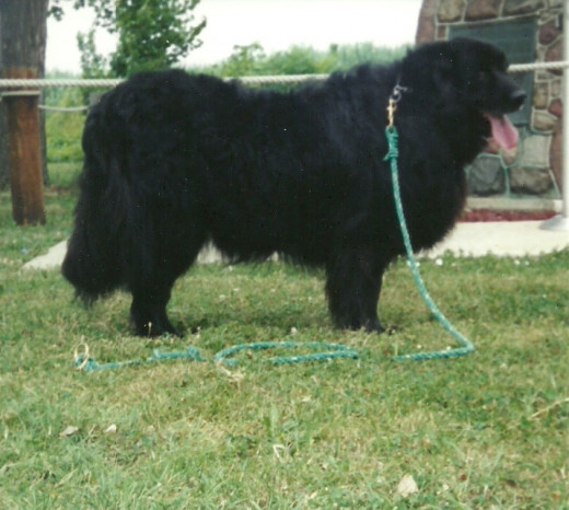 Posed at the same location, Ebony is a full grown, 125-pound Newfoundland. (Photo by Barbara Anne Helberg, 2003)