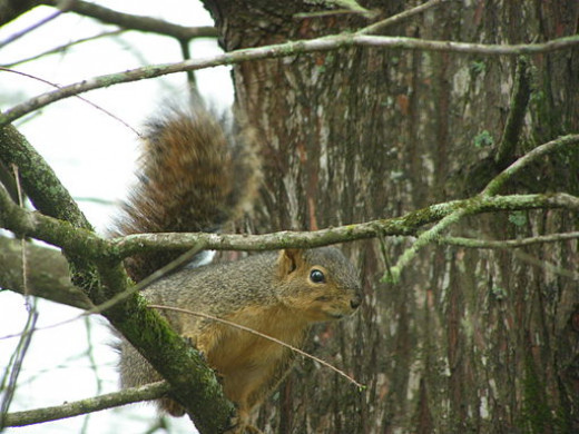 Fox Squirrel in a tree