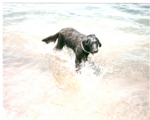 Ebony at Port Clinton testing the water's edge before learning to swim. (Photo by Barbara Anne Helberg, 1998)
