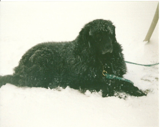 Ebony was definitely just as at home in the snow. She often wowed me with snow dog angels. (Photo by Barbara Anne Helberg, 2006)