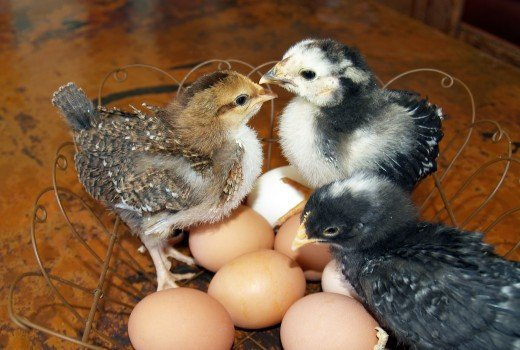 Three chicks in a basket of eggs.