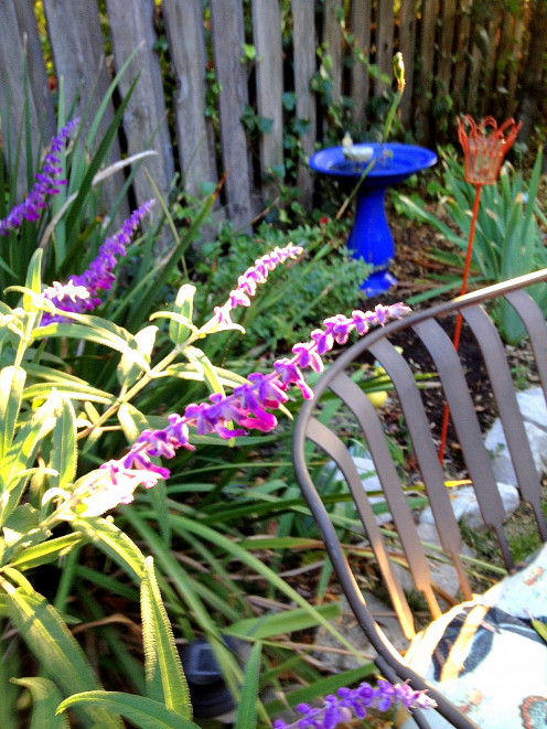 The purple spikes of Salvia leucantha announce the arrival of Fall in So. California.