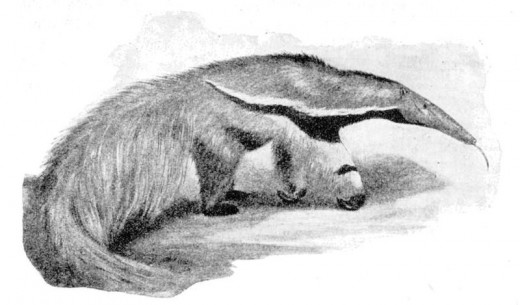 The giant anteater can not be mistaken for any other creature.
