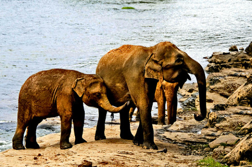 Elephant facts and stories: Elephants are among the most intelligent animals on land