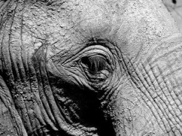elephant have long eyelashes
