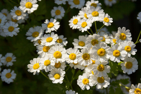 Feverfew is well-known as an effective herbal treatment for migraine