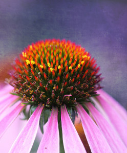 The Benefits of  Echinacea