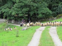 Herding sheep at Cray,... not a lot different to herding people. You get the odd strop but by and large