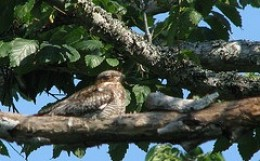 Nighthawks hug branches laterally.
