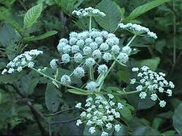 The poison hemlock plant