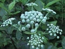The poison hemlock plant