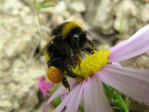 A bumblebee with loaded pollen baskets. Once it leaves the flower, it will return to the hive.