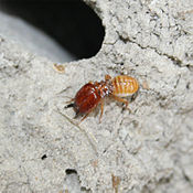 This is a soldier termite, which can be distinguished from the others by its large mandibles.