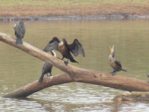 Looks like the Double-Crested Cormorant is Laughing