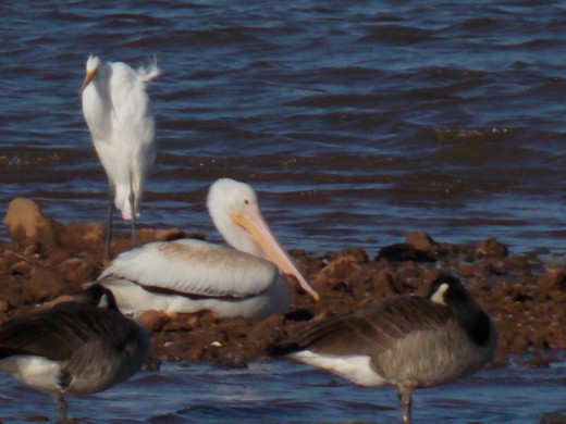 Great Egret(left), American White Pelican(center), Canada Goose(right)