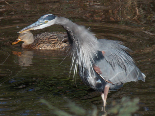 Great Blue Heron(foreground) and Mallard(background)