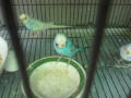 Things you want to know before buying a budgie