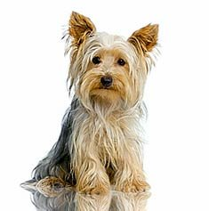Yorkshire Terrier - I'll stay in, thank you.