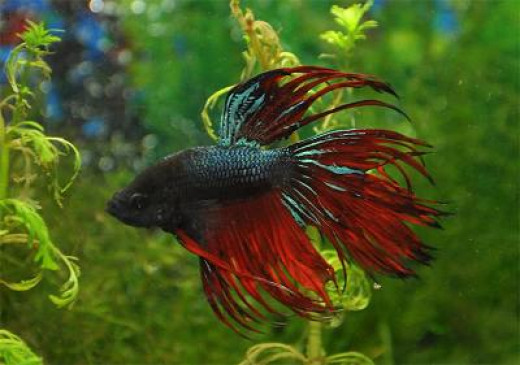 Male Betta fish