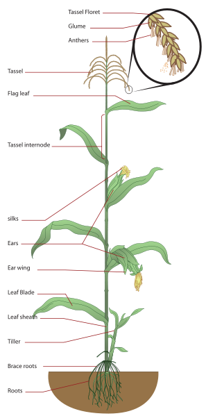 A very simple diagram of the plant Zea mays.