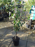 Fruit Trees You Can Grow and Their Rootstocks