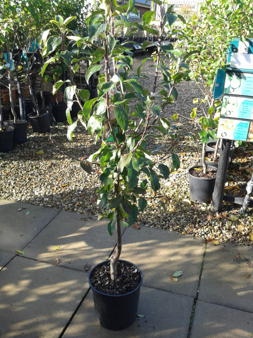 Typical bush apple tree available from garden centre or nursery.