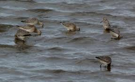 Godwits in Budle Bay