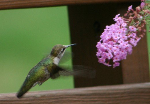 Hummingbird on our upper deck