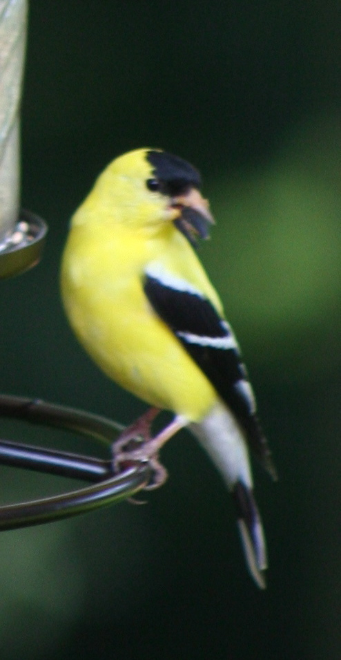 Finch at our feeder