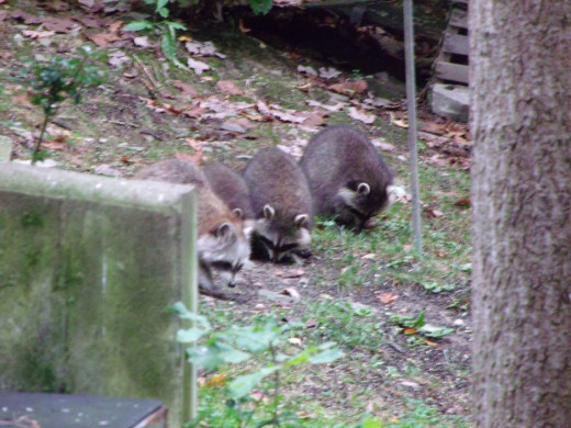 Mama Raccoon and 3 of her 4 babies foraging under the bird feeders.  They will soon be in hibernation mode, so they need to chow down now!