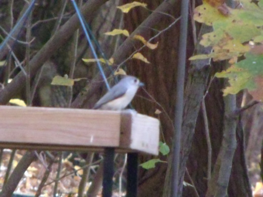 A little Tufted Titmouse should soon realize that I added shelled peanuts to the tray feeder this morning.  That's one of their favorite treats!