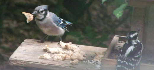 Blue Jay grabbing a piece of bread.  There's also a Hairy Woodpecker at the feeder loading up on black oil sunflowers seeds.