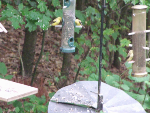 Goldfinches are eating from both tube feeders.  One I stock with sunflower seeds and the other holds niger seeds.  They love them both.