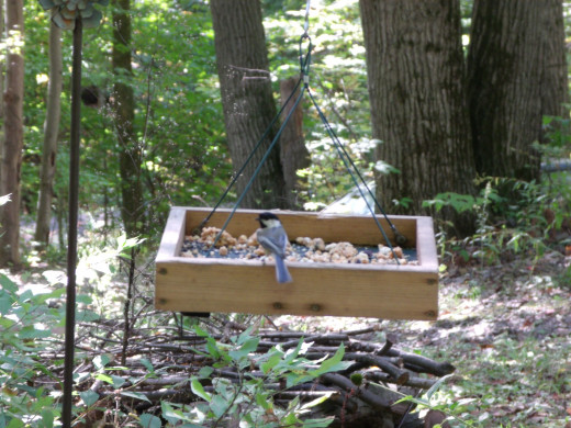 Here's a little chickadee enjoying all the goodies in the tray feeder.