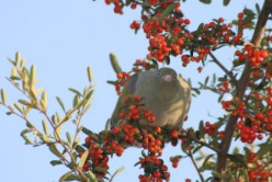 Green pigeons and red berries – a theatre of nature in my garden
