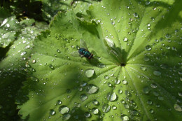 Greenbottle fly and raindrops