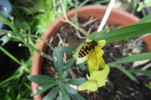 Wasplike hoverfly - Eupeodes corollae