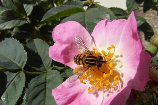 Humbug striped hoverfly - Helophilus pendulus