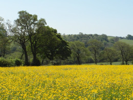 Summer buttercup meadow