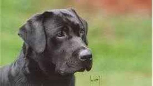 Labrador retriever english or american