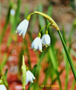 Plant spring snowflake bulbs in the fall for a welcome sight from late winter into spring.