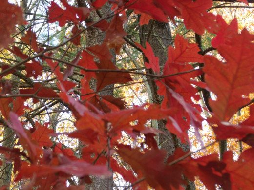 Gorgeous bright red- orange leaves of the White Oak.