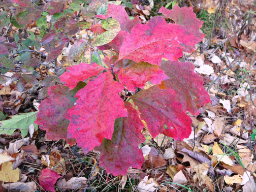 Swamp White Oak sports lovely pink leaves in autumn.